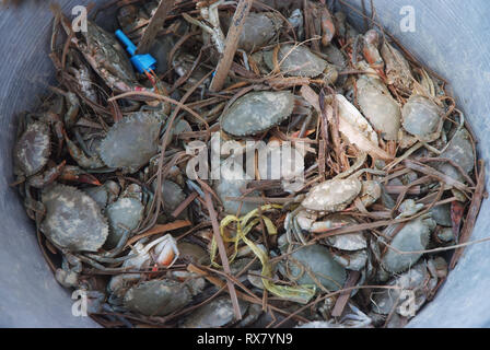 Crab in the bucket - Stock Photo