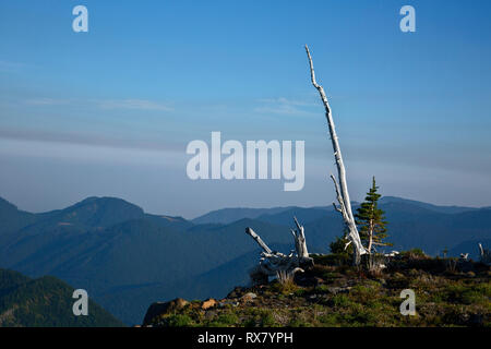WA15911-00...WASHINGTON - Sun shining on ghost trees, burnt in a long ago forest fire from Colonnade Ridge in Mount Rainier National Park. - Stock Photo