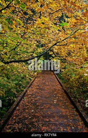 WASHINGTON - Boardwalk through a group of colorful vine maple trees along trail through the Grove of the Patriarchs in Mount Rainier National Park. - Stock Photo