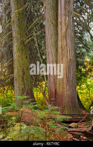 WASHINGTON - Massive western red cedars and Douglas Fir trees found along the Grove of the Patriarchs Trail in Mount Rainier National Park. - Stock Photo