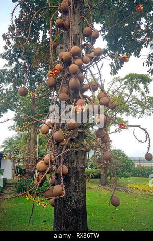 Cannonball tree (Couroupita guianensis Aubl.) bears fruits and blossoms, Koh Samui, Thailand - Stock Photo
