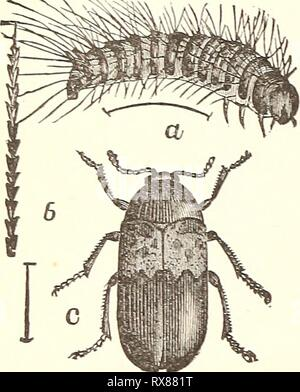 Economic entomology for the farmer Economic entomology for the farmer.. economicentomolo00smit 0 Year: 1896  178 AN ECONOMIC ENTOMOLOGY. Fig. 156. These belong to the family Dermestid^E, which contains such nuisances as the 'larder-beetles,' 'carpet-beetles,'' and 'mu- seum-beetles.' The elytra, which cover the abdomen completely, are black or gray, usually ornamented with white or colored scales, which sometimes form quite pretty markings. The 'larder-beetle,' or 'bacon- beetle,' Dermestes lardarius, is rather more than one-fourth of an inch long, and easily recognizable by having the anterio - Stock Photo