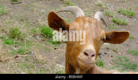 Closeup shot of a ginger billy goat's head. Cute goat looking straight at the camera. - Stock Photo