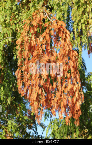 Autumnal branches of the Dawn Redwood, Metasequoia glyptostroboides - Stock Photo