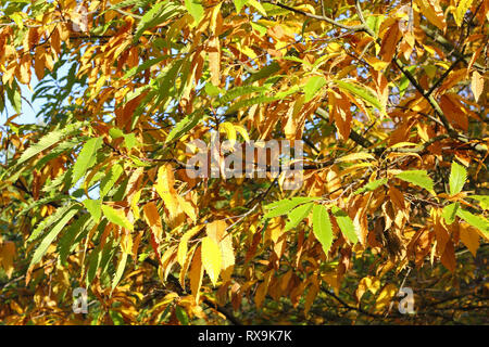 Cut-leaf European Beech in autumn, Fagus sylvatica laciniata - Stock Photo