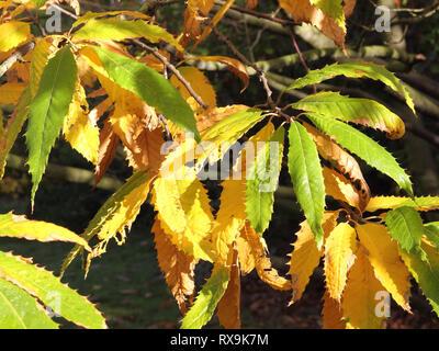 Autumnal leaves of the Cut-leaf European Beech, Fagus sylvatica laciniata - Stock Photo