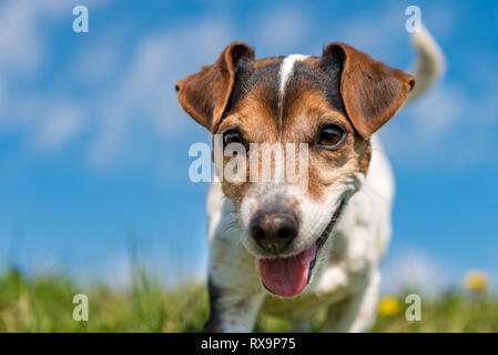 Portrait of a Jack Russell Terrier dog outdoor in nature against a blue sky - Stock Photo