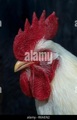 Domestic rooster, portrait, head shot - Stock Photo