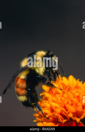 Tricolored Bumble Bee, Bombus ternarius, on marigold, Warman, Saskatchewan, Canada - Stock Photo