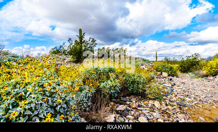 Hiking on the hiking trails surrounded by Saguaro, Cholla and Yellow Wildflowers in the semi desert landscape of the McDowell Mountain Range - Stock Photo