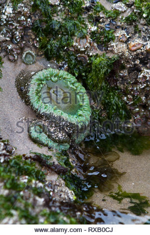 Giant Green Sea Anemone exposed at low tide on Oregon beach. - Stock Photo
