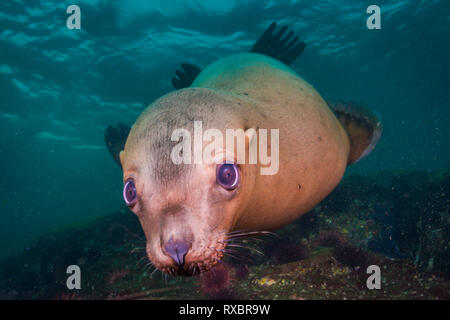 Steller sea lion face, Eumetopias jubatus, Christy Islet, Hornby Island, Striat of Georgia, British Columbia, Canada, near threatened species - Stock Photo