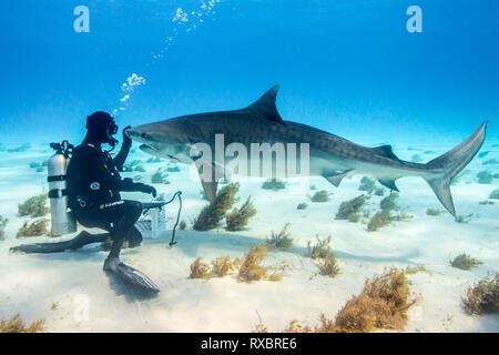 Tiger shark, Galeocerdo cuvier, with shark wrangler, Little Bahama Bank, Grand Bahamas, threatened species