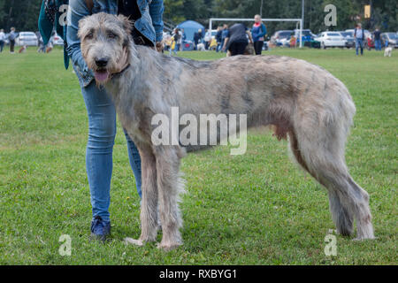 Large irish wolfhound is standing on a green meadow with his owner. Pet animals. Purebred dog. - Stock Photo