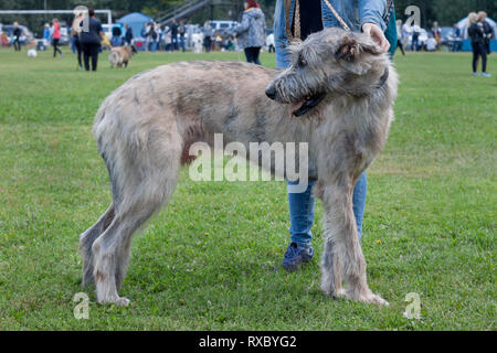 Large irish wolfhound is standing in the green grass with his owner. Pet animals. Purebred dog. - Stock Photo