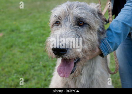 Large irish wolfhound with his owner. Close up. Pet animals. Purebred dog. - Stock Photo