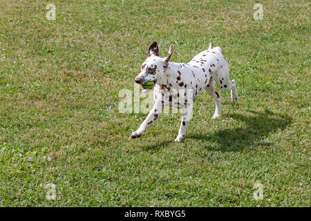 Cute dalmatian puppy is playing with small ball. Dog toys. Pet animals. Purebred dog. - Stock Photo