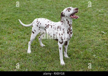 Cute dalmatian puppy is standing on a green meadow. Pet animals. Purebred dog. - Stock Photo