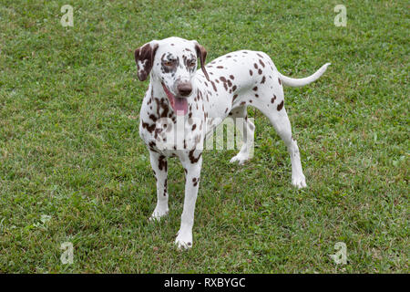 Cute dalmatian puppy is standing on a spring meadow. Pet animals. Purebred dog. - Stock Photo