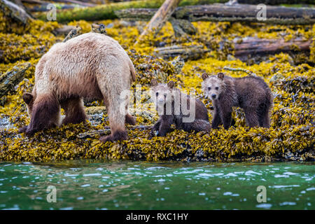 Grizzly bear sow with 2 'fresh' cubs foraging along the low tideline in Knight Inlet, First Nations Territory, British Columbia, Canada - Stock Photo