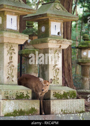Nara, Japan - 15 Oct 2018: A deer is standing amidst ancient stone structures near the Kasuga Grand Shrine at Nara, Japan - Stock Photo
