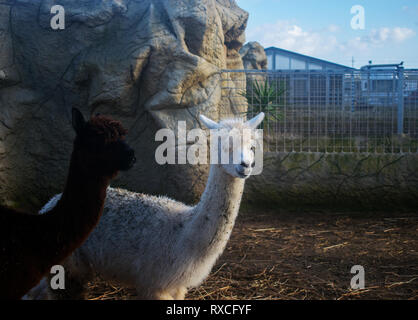 The Two Alpacas - Stock Photo