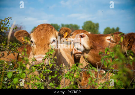 Cows grazing in the East Flemish Country Side. - Stock Photo