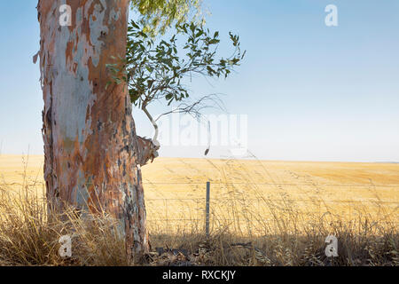 A Gum Tree with a field of Wheat in the background. - Stock Photo