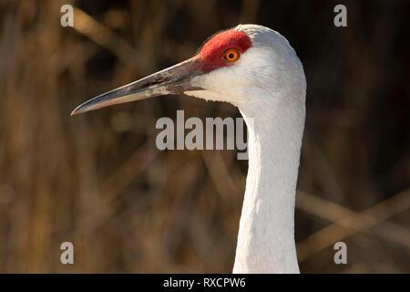 Sandhill crane (Grus canadensis), George C Reifel Migratory Bird Sanctuary, British Columbia, Canada - Stock Photo