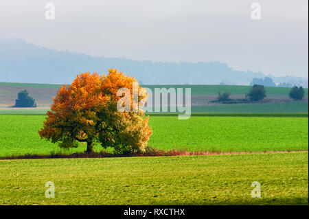 A lone tree, adorned in autumn colors, glows as light from the sun breaks through high fog - Stock Photo