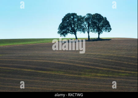 Three trees stand on top of a hillside agricultural field under blue skies. - Stock Photo