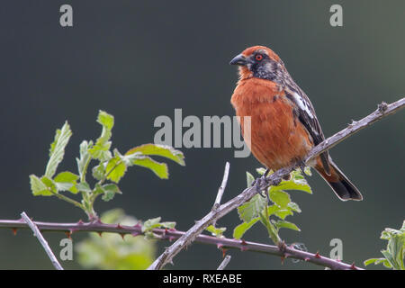 Rufous-tailed Plantcutter (Phytotoma rara) perched on a branch in Chile. - Stock Photo