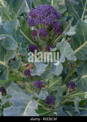 Purple Sprouting Broccoli plant in my garden. Healthy home grown early spring vegetable. - Stock Photo