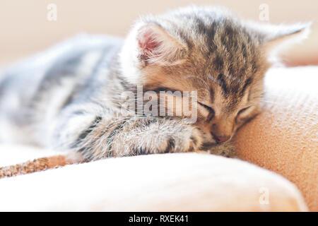 Sweet small cat is sleeping on sofa. Cute kitten portrait. - Stock Photo