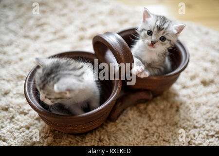 Two lovely white gray kittens are sitting in brown double flowerpot.  - Stock Photo