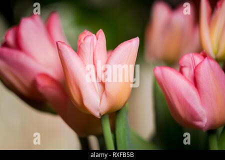 Tulpen, Tulpenstrauß in rosarot - Stock Photo