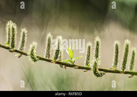 Palmkätzchen im Frühling - Stock Photo