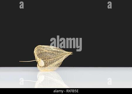 Lampionblume mit Spiegelung, Studioaufnahme - Stock Photo