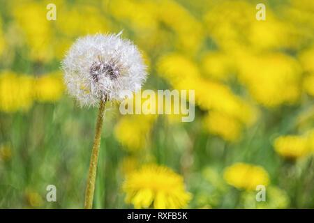 Einzelne Pusteblume auf einer Löwenzahn Wiese