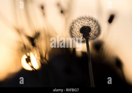 Pusteblume im Gegenlicht bei Sonnenuntergang