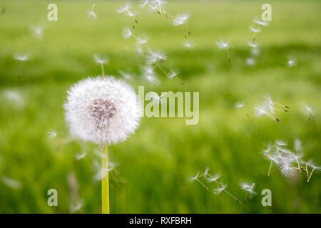 Pusteblume, verblühter Löwenzahn u.fleigende Samen