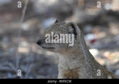 Mongoose, Kgalagadi Transfrontier Park Safai - Stock Photo