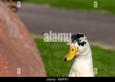 Close up portrait of colorful duck head - Stock Photo
