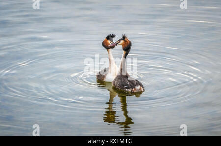 The beauty of the breeding ritual of great crested grebes on the shores of the Upper Zurich Lake, Saint Gallen, Schwyz, Switzerland - Stock Photo
