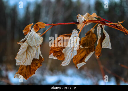 dried raspberry leaves in winter on a blurred background - Stock Photo
