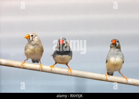 three finch birds at branch. lovely colorful domestic pets birds. - Stock Photo