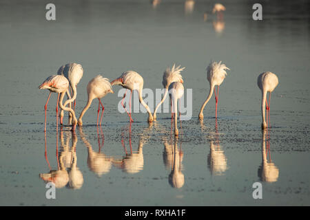 Greater flamingo (Phoenicopterus roseus) in lake Ndutu in  Serengeti in Tanzania - Stock Photo