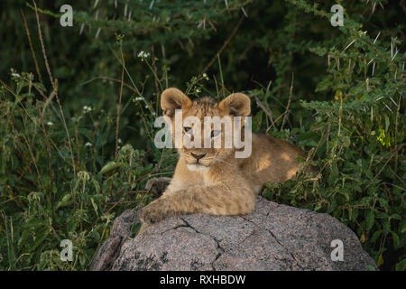 African lion (Panthera leo) in Serengeti in Tanzania