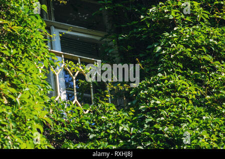 French Balcony on the Facade of the Old Brick Building is Covered with Green Ivy. Living Wall in Architecture - Stock Photo