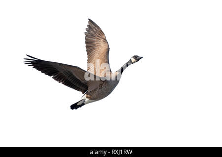 Canada goose (Branta canadensis) flying, isolated on white background, clipping path attached. - Stock Photo